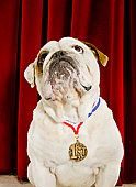 Bulldog with first place medal around neck
